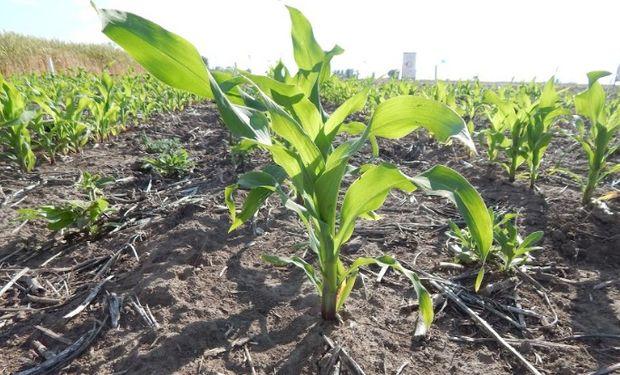 Panorama climático para una nueva campaña de maíz.