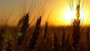 Dos mapas explican la fuerte suba en el precio del trigo