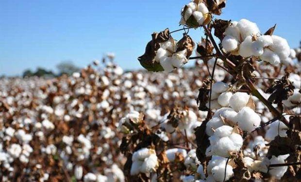 Hoy en Argentina se utiliza principalmente una única variedad comercial de algodón ¿Cuál es el riesgo detrás de esta situación?