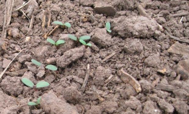 Trips y gusanos blancos: aconsejan monitorear los lotes ante la presencia de estas plagas