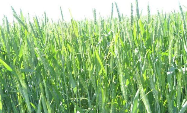 El precio a cosecha del trigo cayó en la semana entre US$0,5/t y US$1,3/t siguiendo la caída en las demás plazas FOB.