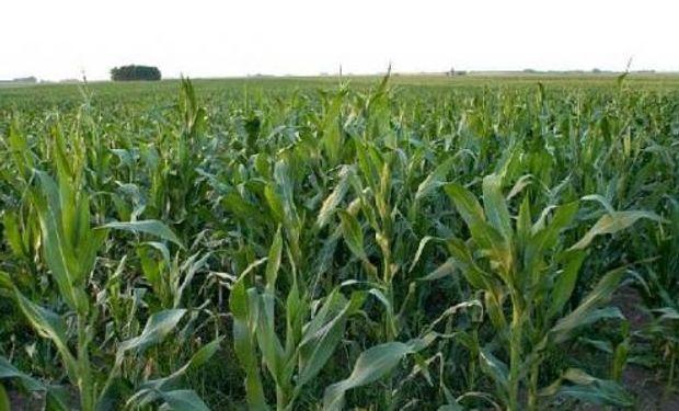 Producción de maíz en China sería récord en 2013