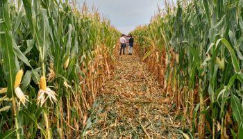 Arrancadores en la siembra de maíz temprano: el INTA comparó dos fertilizantes