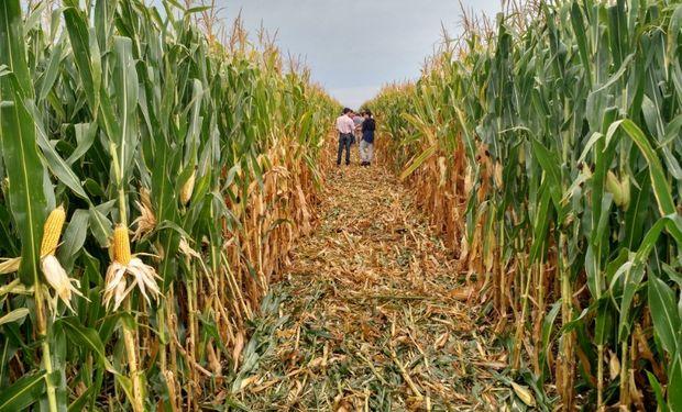 El INTA realizó la comparación de dos fertilizantes utilizados como arrancadores en la siembra de maíz temprano.