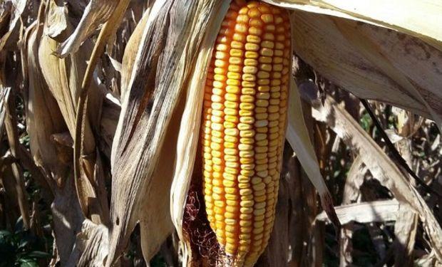 Hace más de una década la inclusión de maíces de siembra tardía en la rotación ha ido en aumento en toda la región maicera argentina.