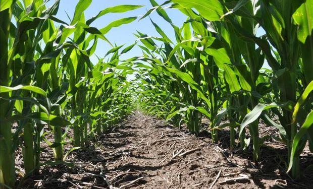 La definición de la densidad en maíz es una práctica clave para lograr máximos rendimientos.