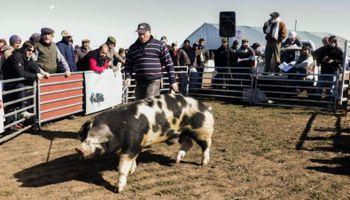 Los cerdos tendrán su remate en Agroactiva Virtual