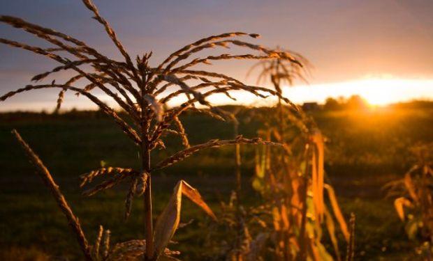 Por las precipitaciones se está demorando la cosecha y los productores temen posibles pérdidas productivas.