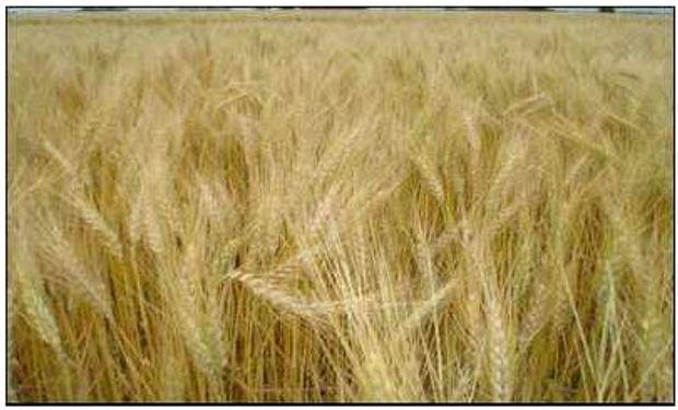 Para el gobierno la cosecha de trigo sería de 8,5 M de tn.