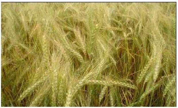 Aseguran oferta de trigo, aunque se vende a u$s630