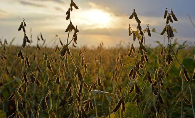 Muchos lotes de soja pasarán a maíz.
