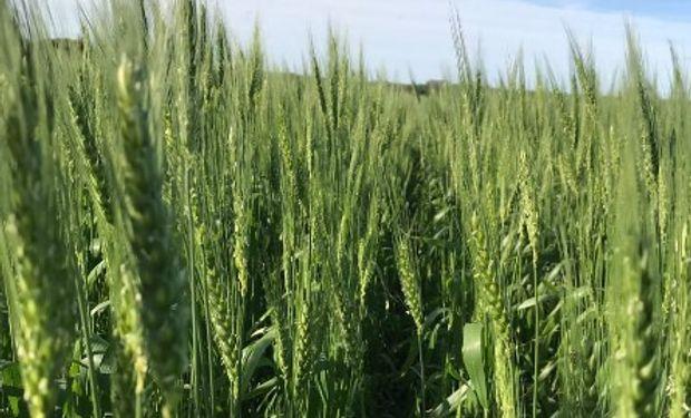 Anticipan que lluvias en las próximas semanas aliviarán a trigo en oeste región pampeana.