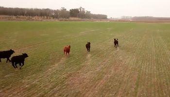 Video: vacas invaden un lote con trigo y el dueño las arrea con un drone