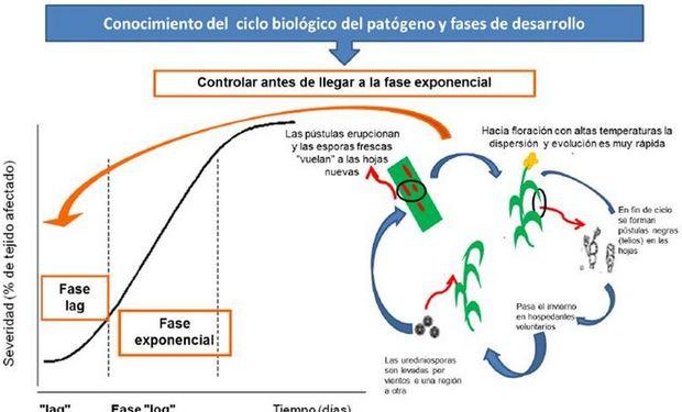 Esquema del ciclo biológico del patógeno. Fuente: INTA