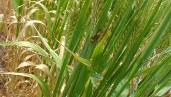 Roya del tallo en trigo: recomiendan intensificar los monitoreos