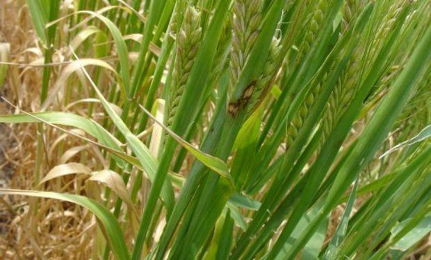 INTA Pergamino: Informe Fitosanitario de Trigo y Cebada