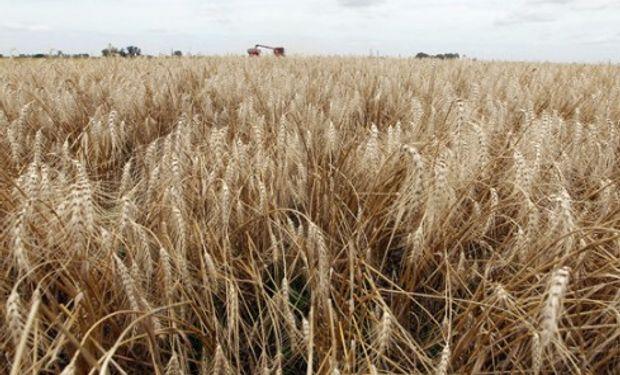 Pese a la caída generalizada del trigo en el mundo, inventarios ajustados y menores expectativas de producción limitan la baja en Argentina.
