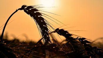 El trigo repuntó con fuerza en el mercado de Chicago