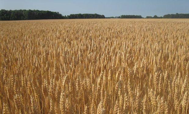 Tarde para mejorar el trigo