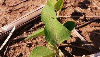 Habría 500 mil hectáreas de soja perdidas en la zona núcleo tras el temporal