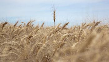 """El trigo, """"una revancha para la molienda y las exportaciones"""""""