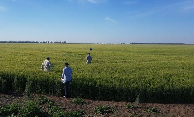 Entre Ríos y Buenos Aires contienen la caída productiva del trigo.