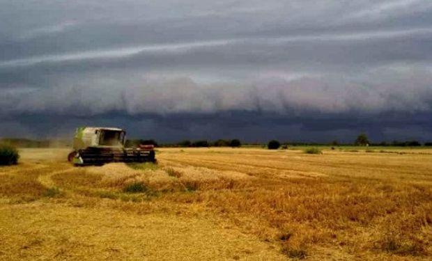 Las condiciones de alta humedad ponen en riesgo al trigo.