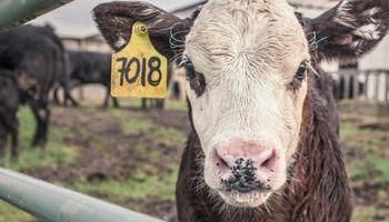 Animales de 600 kilos y 90 millones de cabezas: la cadena de ganados en Estados Unidos