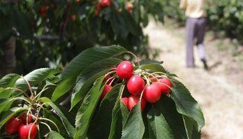 Por primera vez las cerezas argentinas ingresarán a China