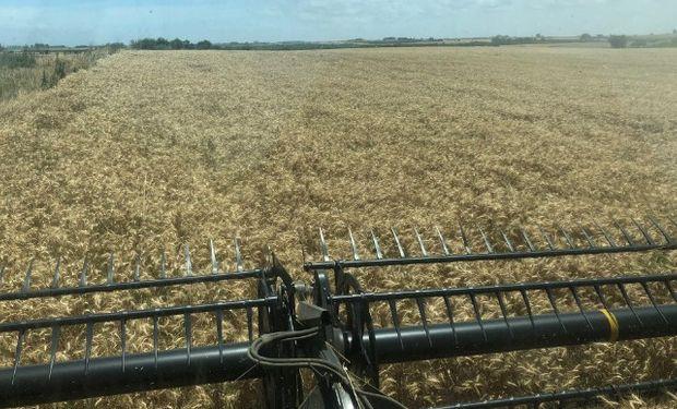 La cosecha fina progresa a buen ritmo.