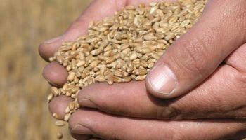 Monitoreo preliminar de la calidad del trigo: qué indican las primeras muestras