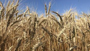 Los rindes del sur permiten mantener la expectativa de una cosecha récord de trigo