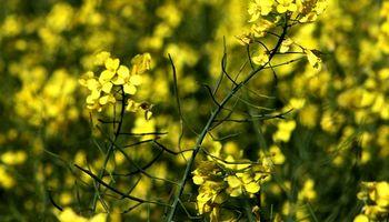 Colza OGM: Agroindustria aclaró que en Argentina no se han realizado ensayos
