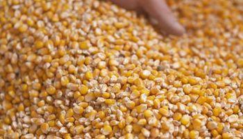 El consumo de maíz en el mundo se encamina a batir un nuevo récord