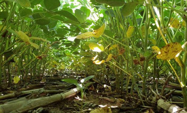 Lluvias consolidan desarrollo favorable de soja.