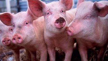 La Mesa Nacional de Producción Porcina hará una presentación en el Senado