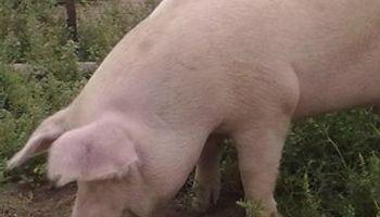 La cadena porcina analiza el mercado