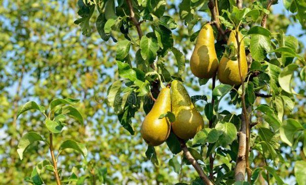 Régimen de Facilidades de Pago: producción de peras y manzanas.