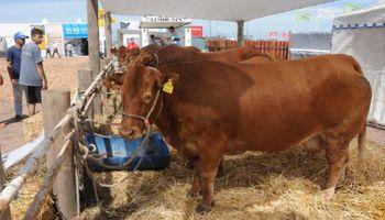 Limousin estará en la muestra del norte cordobés