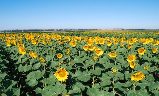 La Argentina producirá 4 millones de toneladas de grano de girasol y exportará 625.000 de su aceite (6,7% del mercado mundial).