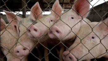 Carne porcina: la Argentina envía a EE.UU un informe sobre la importación