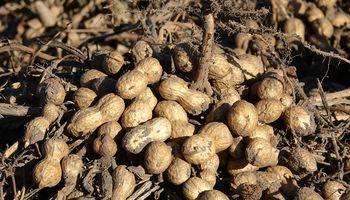 La cosecha de maní será un 30% superior al ciclo anterior