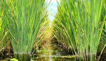 Entre Ríos desarrolla un sistema de alarma para el quemado del arroz