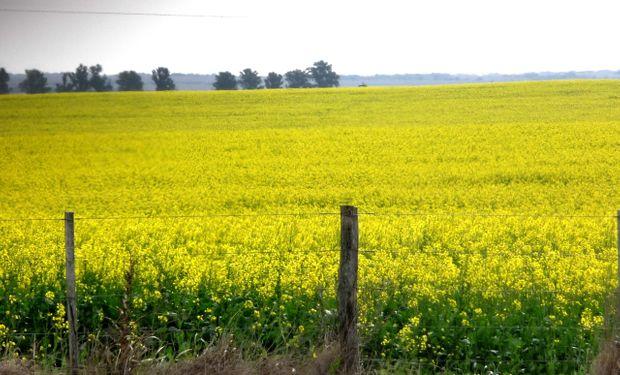 La colza posee un alto porcentaje de aceite de excelente calidad y un residuo de extracción de alto nivel proteico.