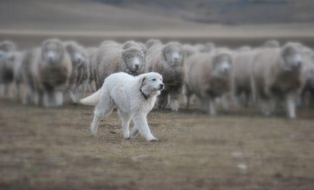 No es la genética la que determina la predisposición de los animales a la labor de campo sino las costumbres que fue adquiriendo.