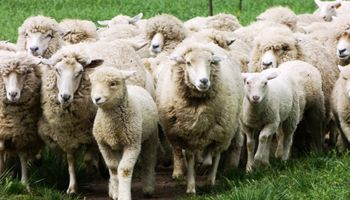 Para 2021 el sector ovino busca contar con una ley que se adecúe al contexto internacional