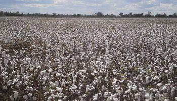 Algodón: para satisfacer la demanda habilitan el uso de semilla identificada