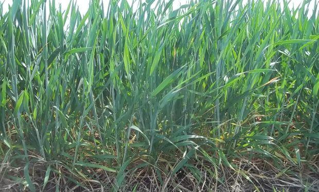 Heladas en Argentina golpean al trigo. Causarían pérdidas