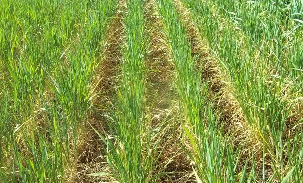 EL 30% del trigo está comprometido por la sequía