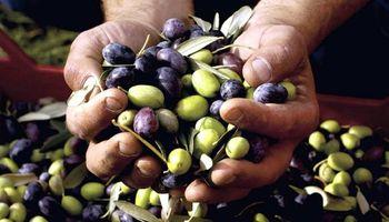Reflejo de la crisis del sector olivícola: cierran planta de aceitunas en La Rioja